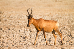Red Hartebeest Royalty Free Stock Photography