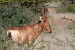Red Hartebeest. In a South African park Stock Image