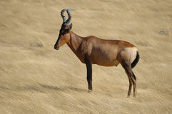 Red Hartebeest Royalty Free Stock Images