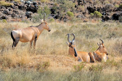 Free Red Hartebeest Stock Photography - 45599372