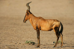 Free Red Hartebeest Royalty Free Stock Photography - 5669947