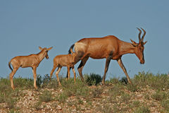 Red hartebeest. Antelopes (Alcelaphus buselaphus) with young calve, Kalahari, South Africa stock image