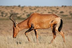 Free Red Hartebeest Royalty Free Stock Image - 9527416