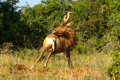 Southern african animals. Red hartebeest at Addo Elephant Park Royalty Free Stock Image