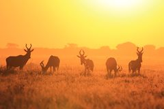 Red Hartebeest - African Wildlife Background - Sunset Shine of Freedom. A Red Hartebeest herd poses on an open field, as seen in the wilds of Africa at dusk Stock Photos
