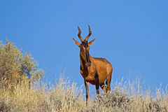 Red Hartebeest against clear blue sky. Alcelaphus buselaphus royalty free stock photo