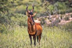 Free Red Hartebeest, Alcelaphus Buselaphus Caama, Kalahari South Africa Royalty Free Stock Image - 118415496