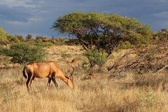 Red hartebeest in natural habitat Royalty Free Stock Photos