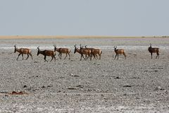 Free Red Hartebeest Alcelaphus Caama In The Salt Pan Of The Etosha Nationalpark Stock Photography - 126238552