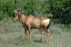 Red Hartebeest Antelope Royalty Free Stock Image
