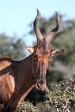 Red Hartebeest Antelope Stock Photos