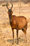 Red Hartebeest antelope Royalty Free Stock Images