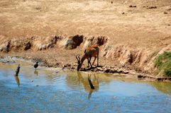 Red Hartebeest antelope Stock Photos