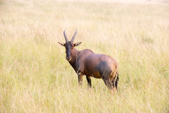 Red Hartebeest Antelope Stock Photography