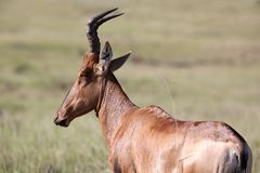 Red Hartebeest Antelope Royalty Free Stock Photography