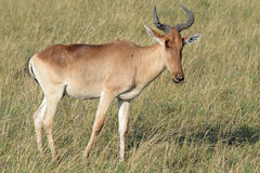 Red Hartebeest antelope standing in the long African grassland. At masi mara national park Stock Image