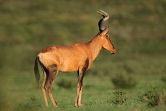 Red hartebeest antelope Stock Images