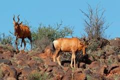 Red hartebeest antelopes Stock Image