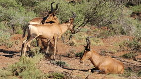 Red hartebeest antelopes stock video footage