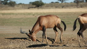 Red hartebeest antelopes playing Stock Image