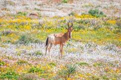 Free Red Hartebeest Between Indigenous Flowers Stock Photos - 58765093