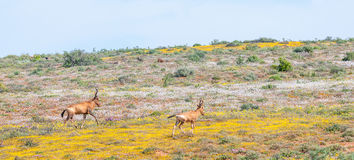 Free Red Hartebeest Between Indigenous Flowers Royalty Free Stock Photography - 59970397