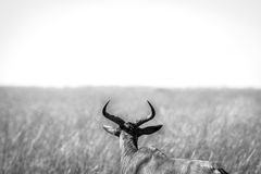 A Red hartebeest in black and white. Royalty Free Stock Images