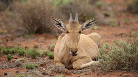 Red hartebeest calf Stock Photos