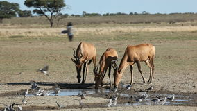 Red hartebeest and doves Stock Photos