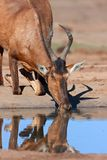 Red hartebeest drinking Royalty Free Stock Photography