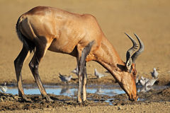 Red hartebeest drinking Stock Image