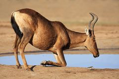 Red hartebeest drinking Stock Images