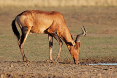 Red hartebeest drinking Royalty Free Stock Photo