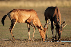 Red hartebeest drinking Royalty Free Stock Image