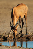 Red hartebeest drinking water Stock Photos
