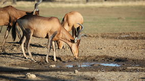 Red hartebeest drinking water stock video