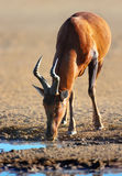 Red hartebeest drinking water Royalty Free Stock Photo