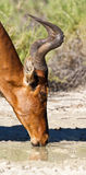 Red Hartebeest drinking water Stock Photography