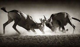 Red hartebeest dual in dust Stock Images