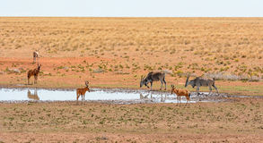 Red Hartebeest and Eland Stock Photos