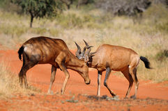 Red hartebeest fighting Stock Photos