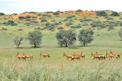Red hartebeest herd Stock Images