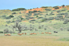 Red hartebeest herd Royalty Free Stock Images