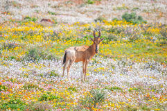 Red hartebeest between indigenous flowers. A red hartebeest between indigenous flowers next to the road between Skilpad in the Namaqua National Park and Stock Photos