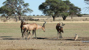 Red hartebeest and jackal Stock Image