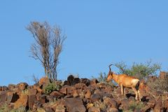Red hartebeest landscape Stock Photography