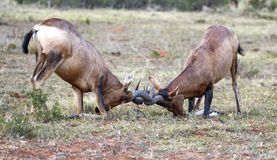 Free Red Hartebeest Male Antelope Fighting Stock Images - 96760584