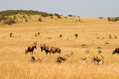 Red Hartebeest in the Masai Mara National Park. Stock Images