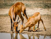 Red Hartebeest stock image