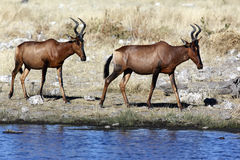 Red Hartebeest - Namibia Stock Photography